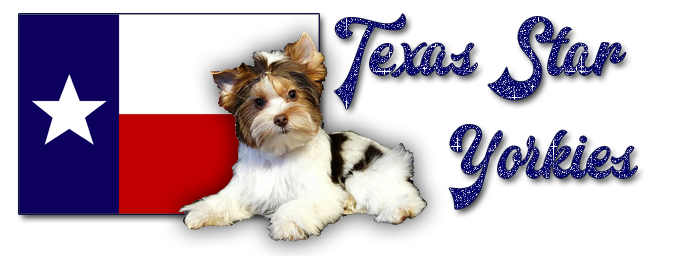 Texas Star Yorkies